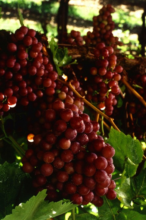 Ownership of plant materials not transferred in plant variety licensesullivanlaw net - Seedless grape cultivars ...