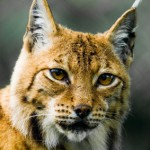 No patent for bobcat/housecat mix.